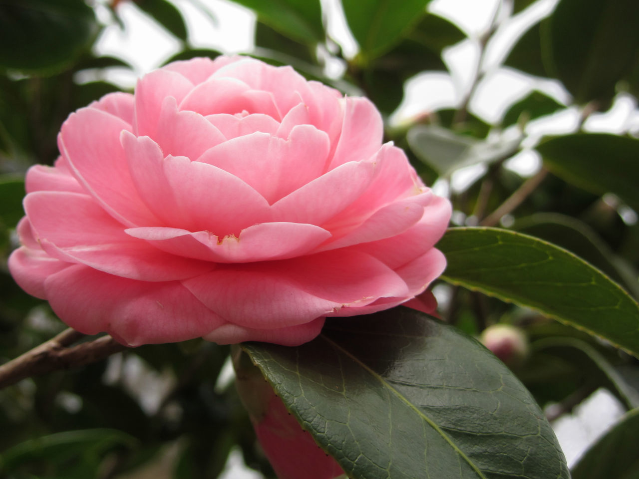 Ancient japanese cultivar of pink Camellia japonica flower known as Otome Tsubaki Ancient Anniversary Birthday Bloom Blooming Blossom Bush Camelia Camellia Camellia Japonica Celebration Cultivar Decorative Flora Flower Garden Japanese  Ornamental Otome Tsubaki Petal Pink Romantic Shrub Theaceae Wedding