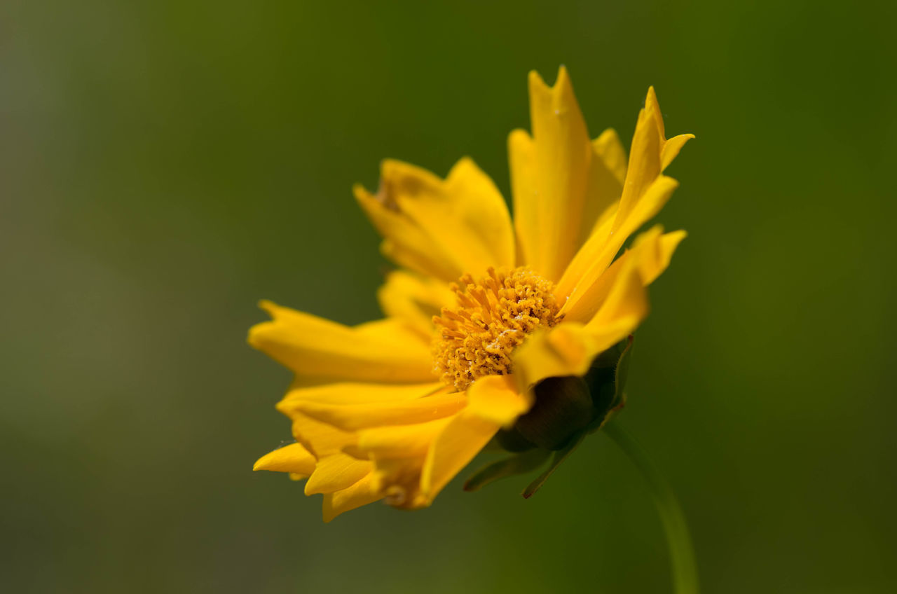 Beauty In Nature Blooming Bokeh EyeEm EyeEm Best Shots EyeEm Nature Lover EyeEmNewHere Flower Flower Head Fragility Green Green Color Growth Macro Macro Photography Nature Nature On Your Doorstep No People Outdoors Petal Plant Springtime Yellow Yellow Color Yellow Flower