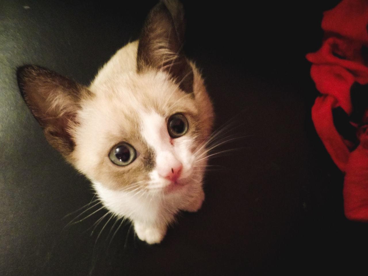 Se ele quisesse algo, só os sem coração negariam... Animal Themes Babycat Cat Close-up Domestic Animals Domestic Cat Feline Indoors  Kitten Looking At Camera Mammal No People One Animal Pets Portrait