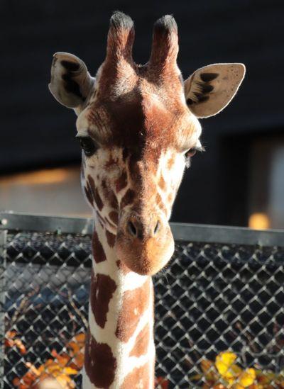 Animal Themes One Animal Mammal Focus On Foreground Giraffe Close-up No People Animal Wildlife Day