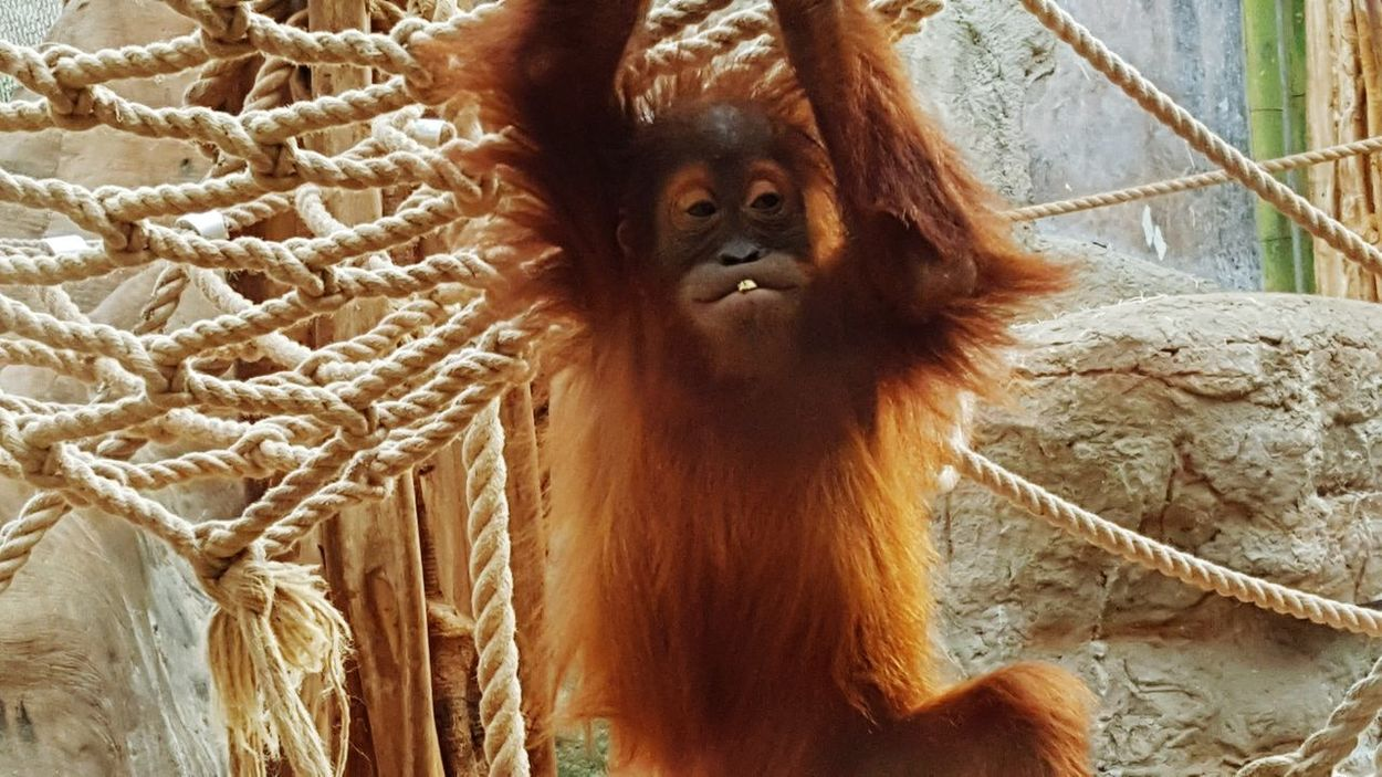 Orang Utan Save Orang Utan Save Orangutan Zoo Apes