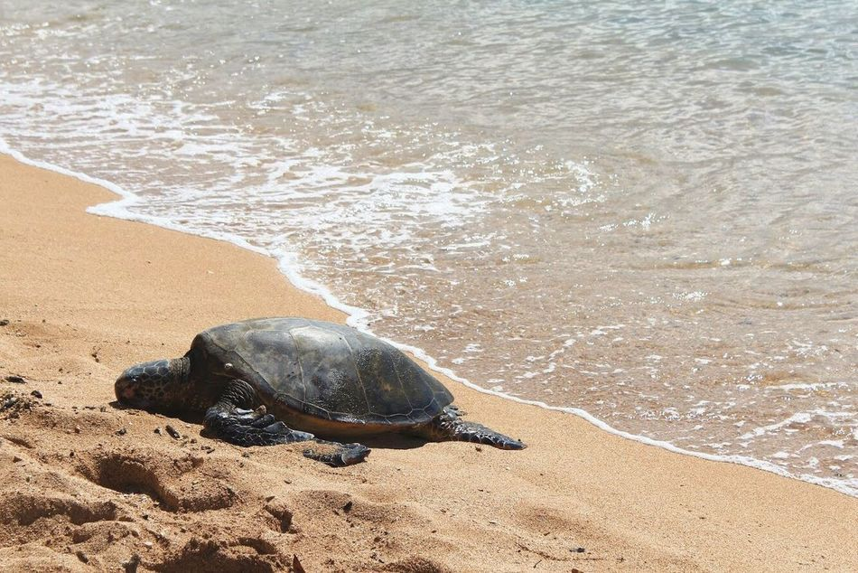 Beautiful stock photos of turtle, Amphibian, Animal Shell, Animal Themes, Animals In The Wild