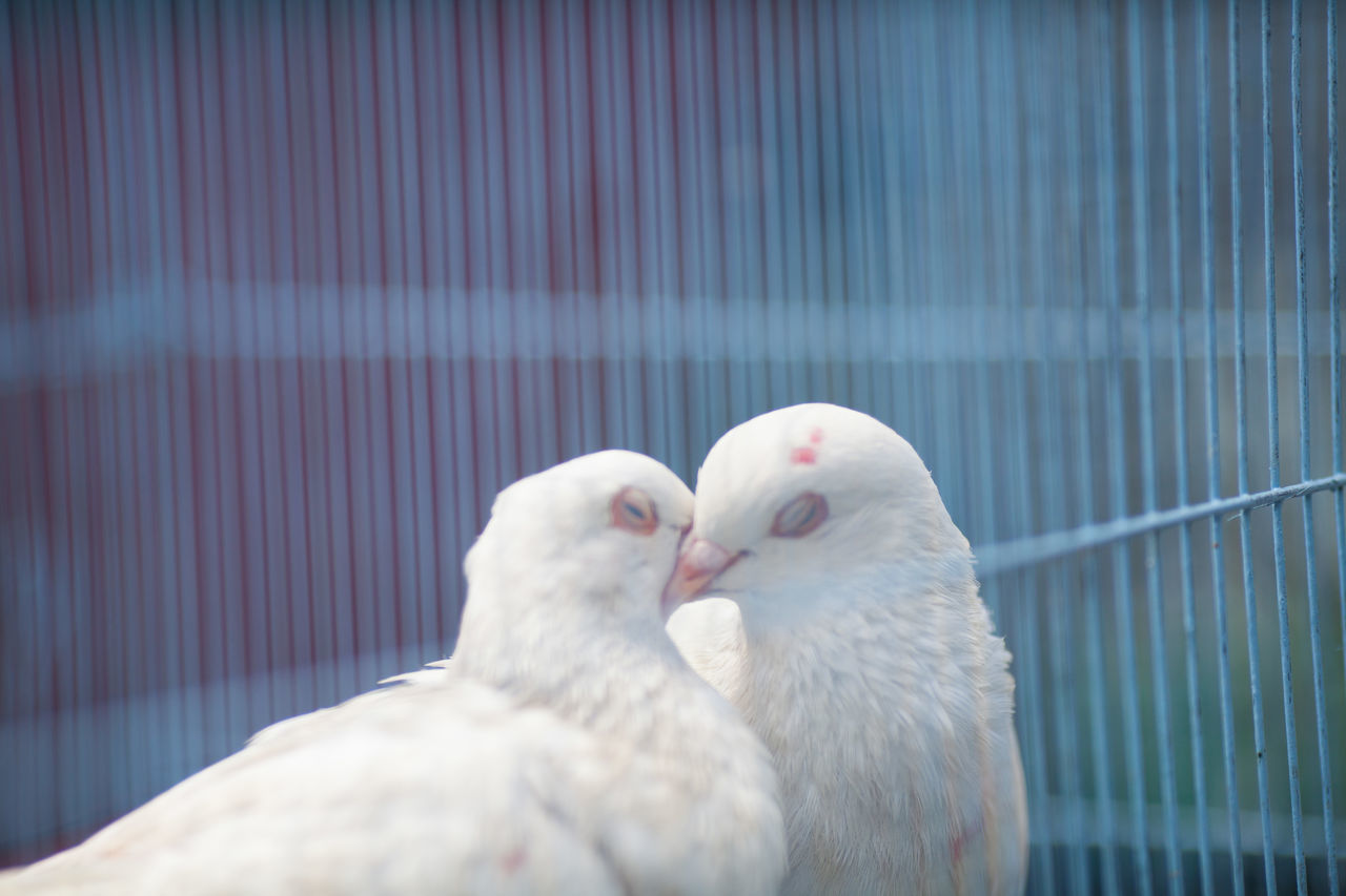 Beautiful stock photos of dove, Animal Themes, Animals In Captivity, Animals In The Wild, Beauty In Nature