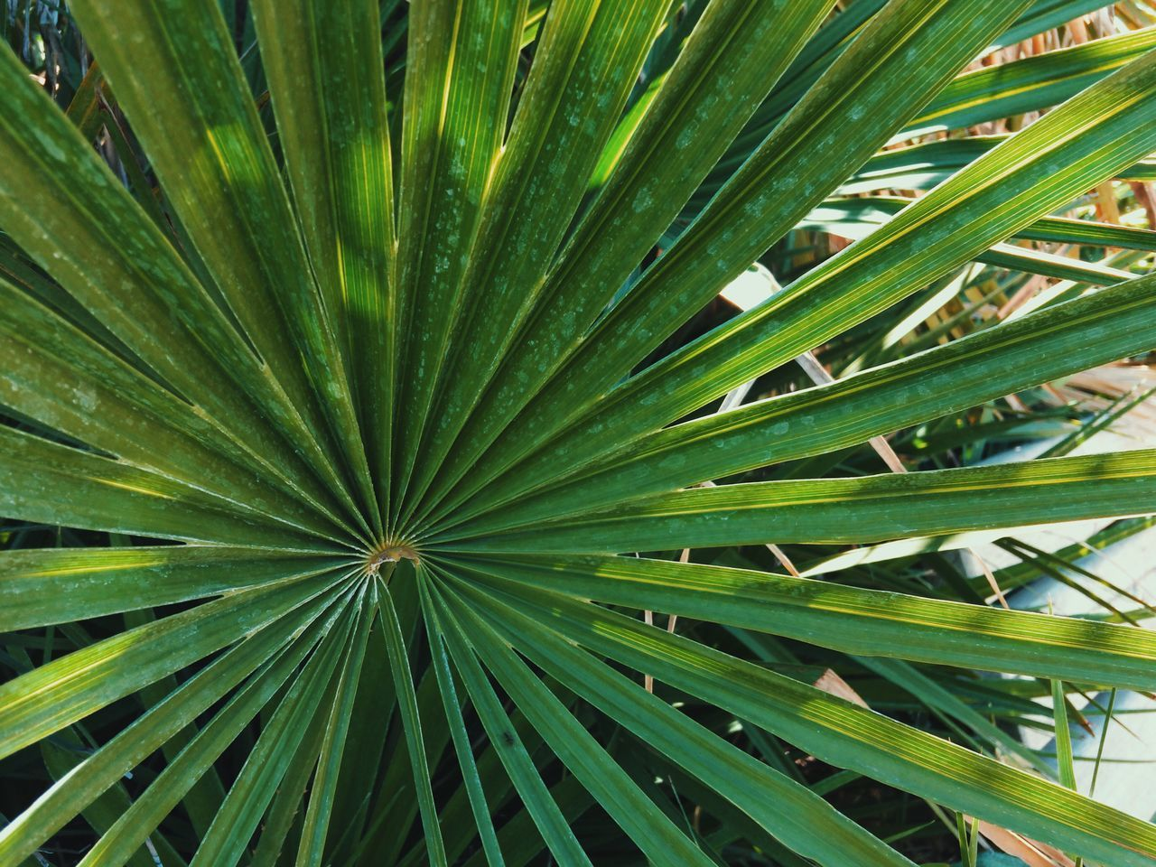 Palm tree 🌴... Leaf Growth Backgrounds Green Color Full Frame Nature Plant Beauty In Nature No People Palm Tree Day Outdoors Close-up Botanical Garden Freshness Details Of My Life Exotic Freshness Green VSCO Tropical Colorful Summer Enjoying Life Mobile