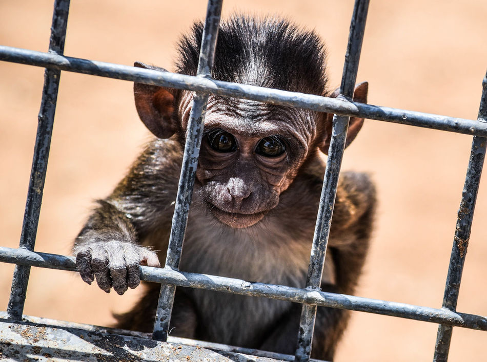 This one the smallest monkey and the cutest one. Animals Monkey Face Monkey Photography تصويري  الرياض تصويري_نيكون السودان Learn & Shoot: Leading Lines Blackandwhite Photography Taking Photos Check This Out Photographs Animals Hanging Out Beautiful View Nature Photography Enjoying Life Cheese!
