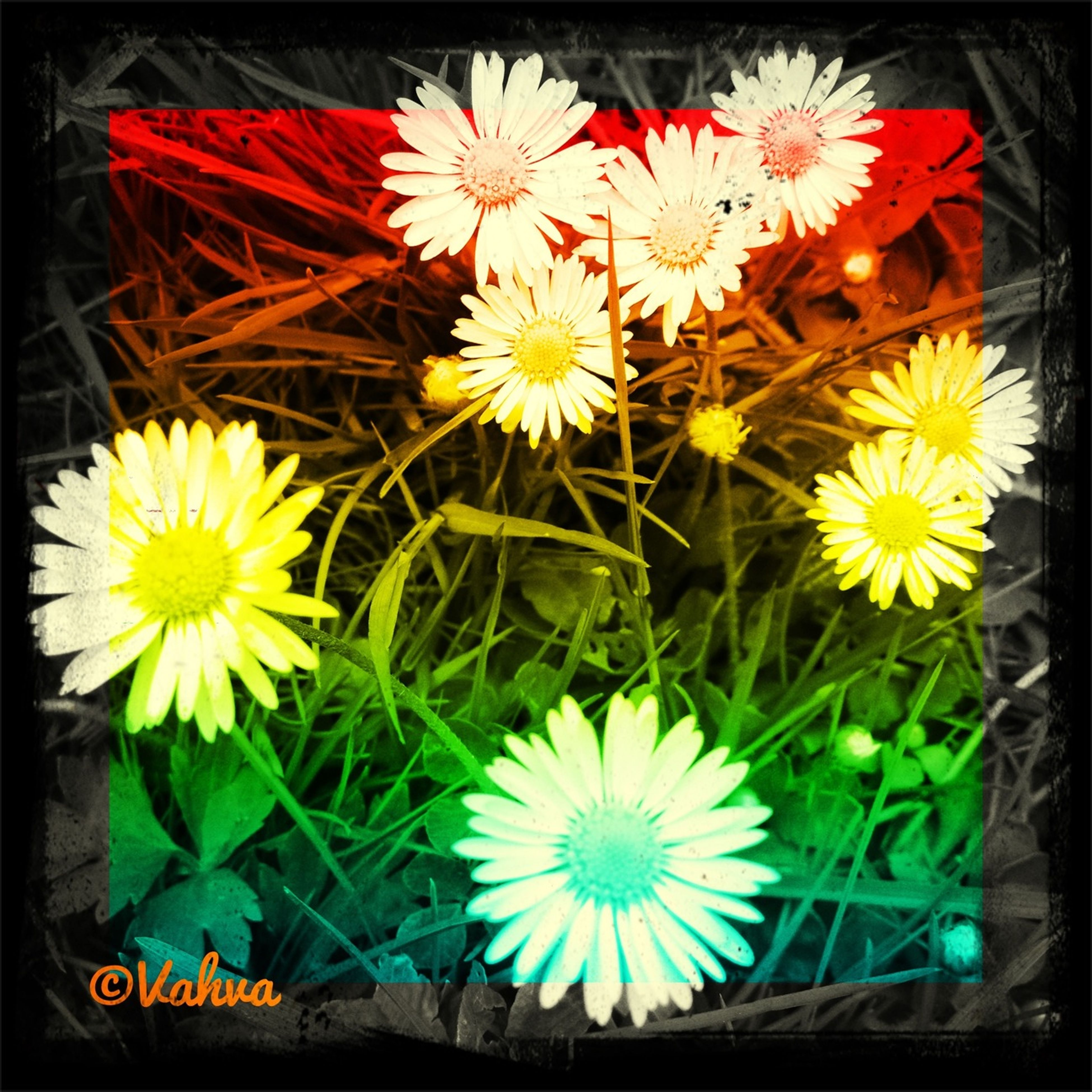 flower, transfer print, yellow, auto post production filter, fragility, petal, freshness, multi colored, flower head, plant, growth, blooming, nature, outdoors, day, variation, no people, close-up, beauty in nature, high angle view