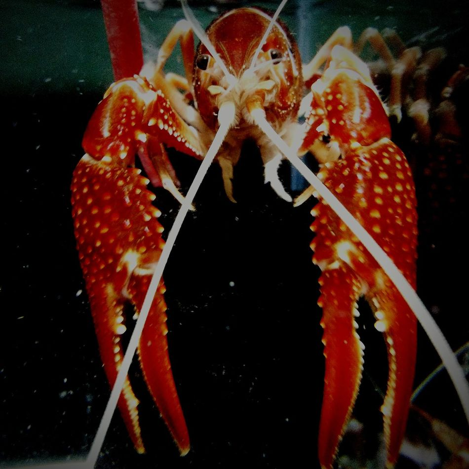Black Background Red Close-up Muscle 💪💪 Crayfish Ghost First Eyeem Photo