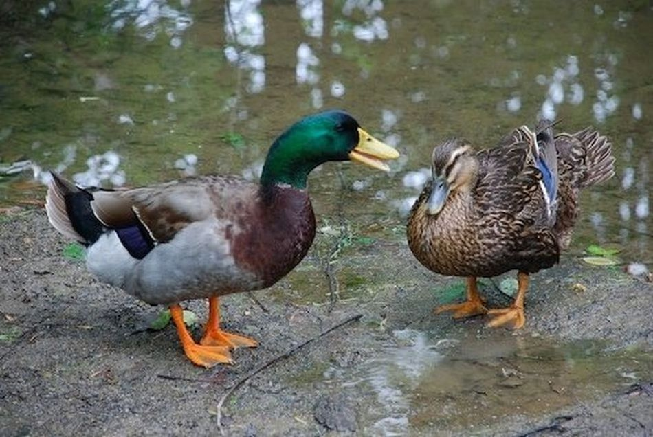 whatever the drake is saying to her, the duck hen doesn't look very receptive #couple #drake Animal Themes Beak Bird Day Duck Lake Lakeshore Mallard Duck Nature Outdoors Pond Reflection Swimming Togetherness Two Animals Water Water Bird