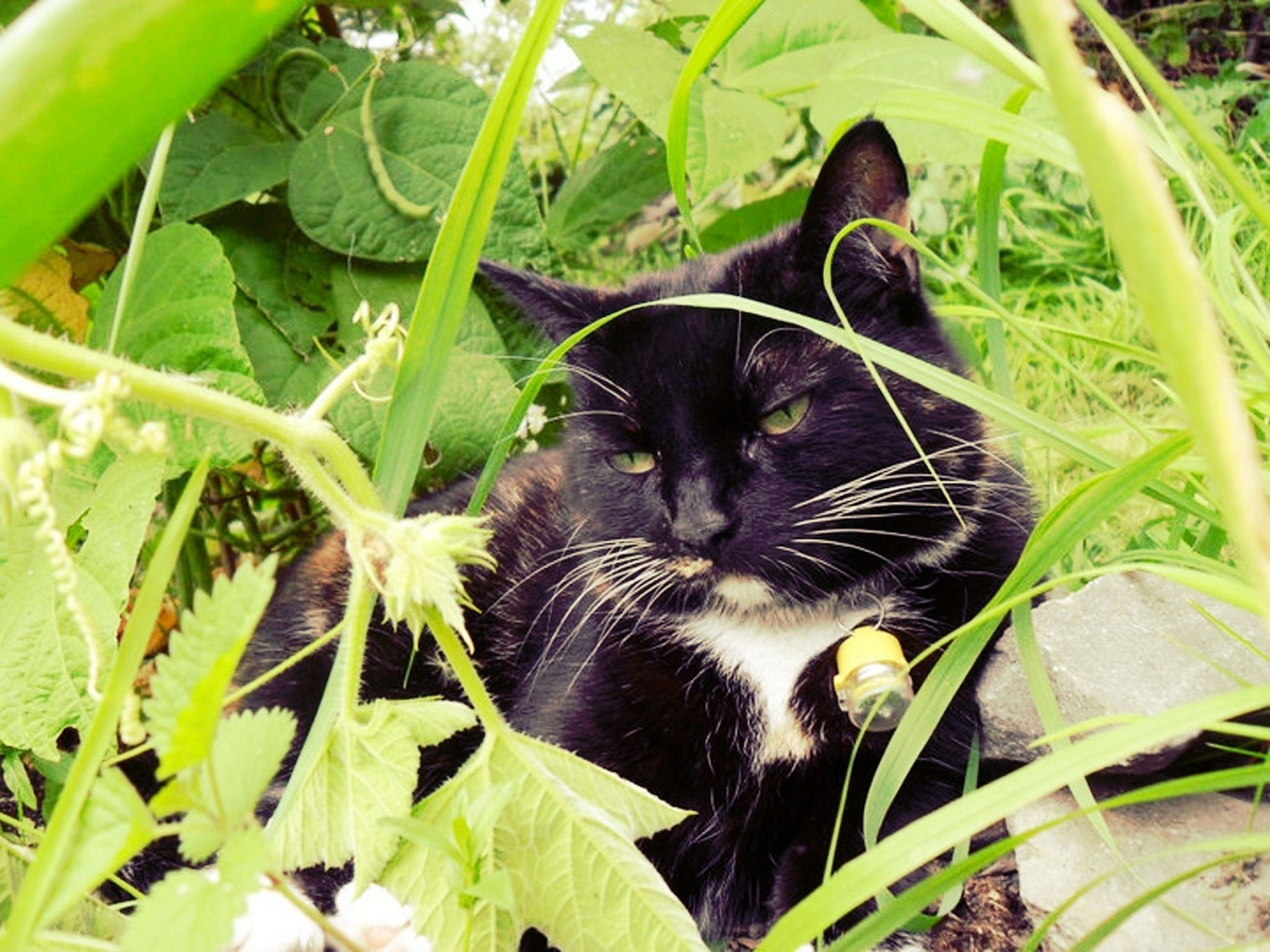 animal themes, one animal, domestic cat, pets, cat, mammal, domestic animals, leaf, plant, feline, whisker, growth, high angle view, green color, close-up, black color, nature, grass, day, looking at camera