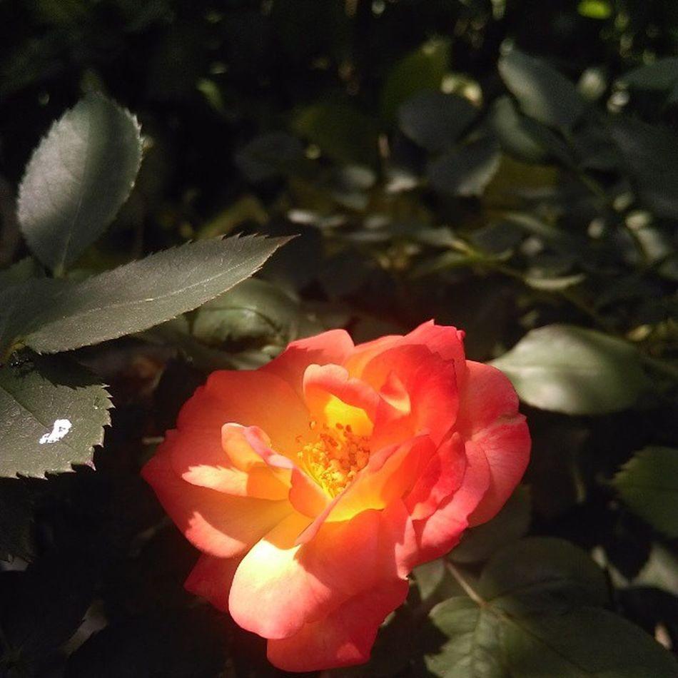 No Filter Centre_focus Desire820 Garden Rose_fondness