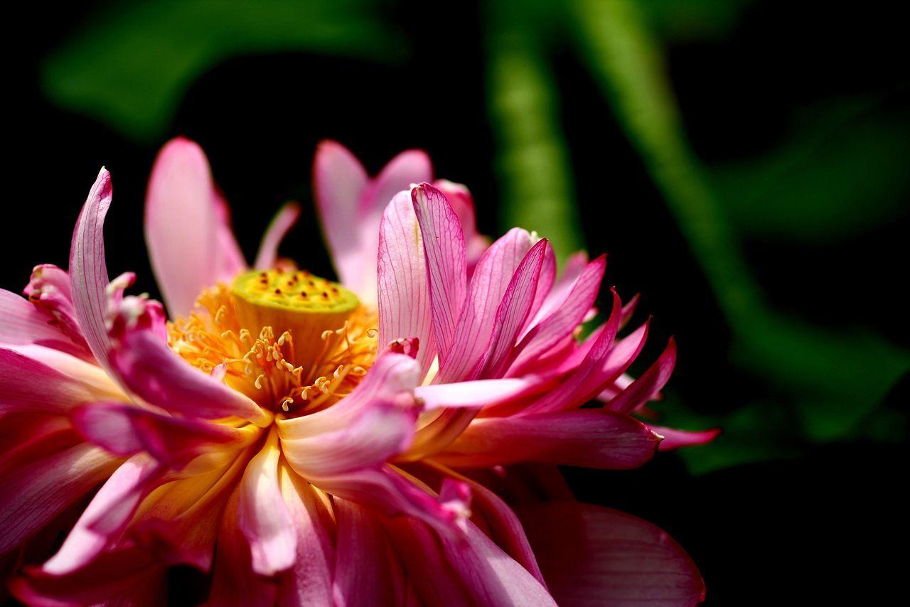 Close-Up Of Fresh Pink Lotus
