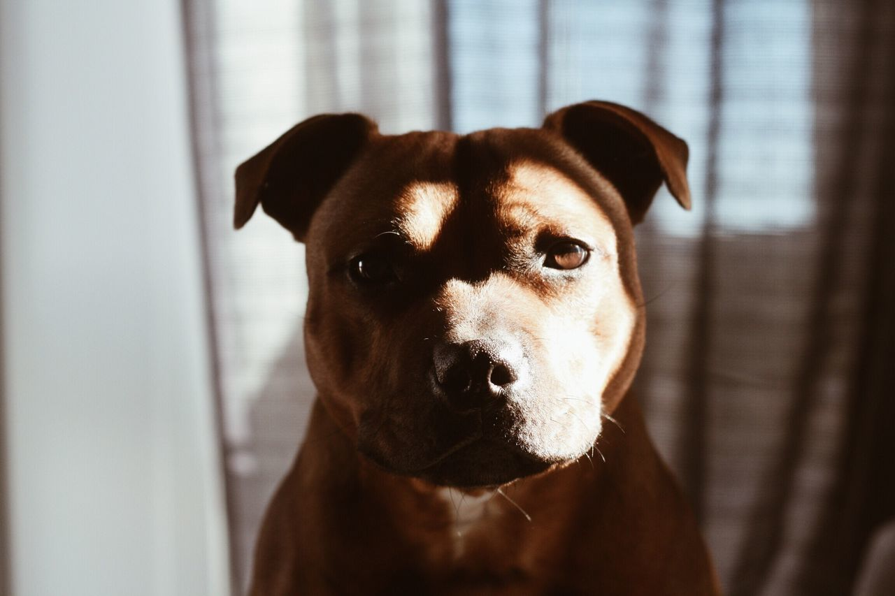 Opie, 10 months 🐶 Staffordshire Bull Terrier Staffordshirebullterrier Staffy Staffylove Staffylovers Staffygram Staffysofinstagram Staffy Opie Opie Norwegian Dog Dogoftheday Pets Corner Pet Photography  First Eyeem Photo