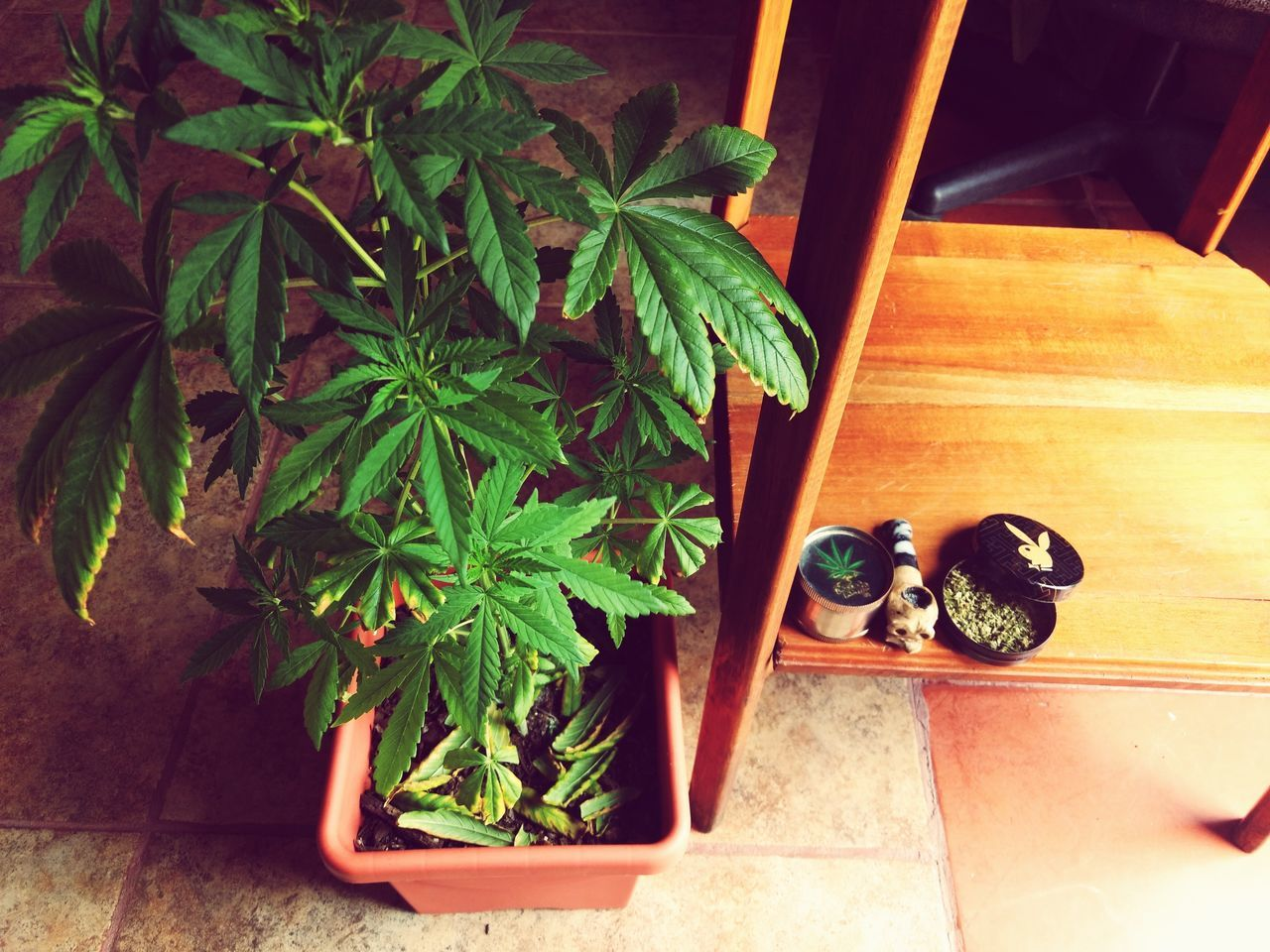 Plant Green Color High Angle View Leaf Indoors  Growth Potted Plant Wood - Material No People Herb Day Marijuana - Herbal Cannabis Nature Close-up