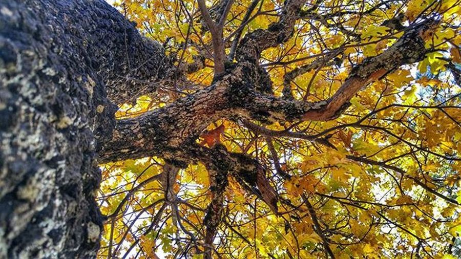 Beautiful Fall colors in the Mountains . Oak Seasons Yellow Bark Trees Beauty Forest Whitmore