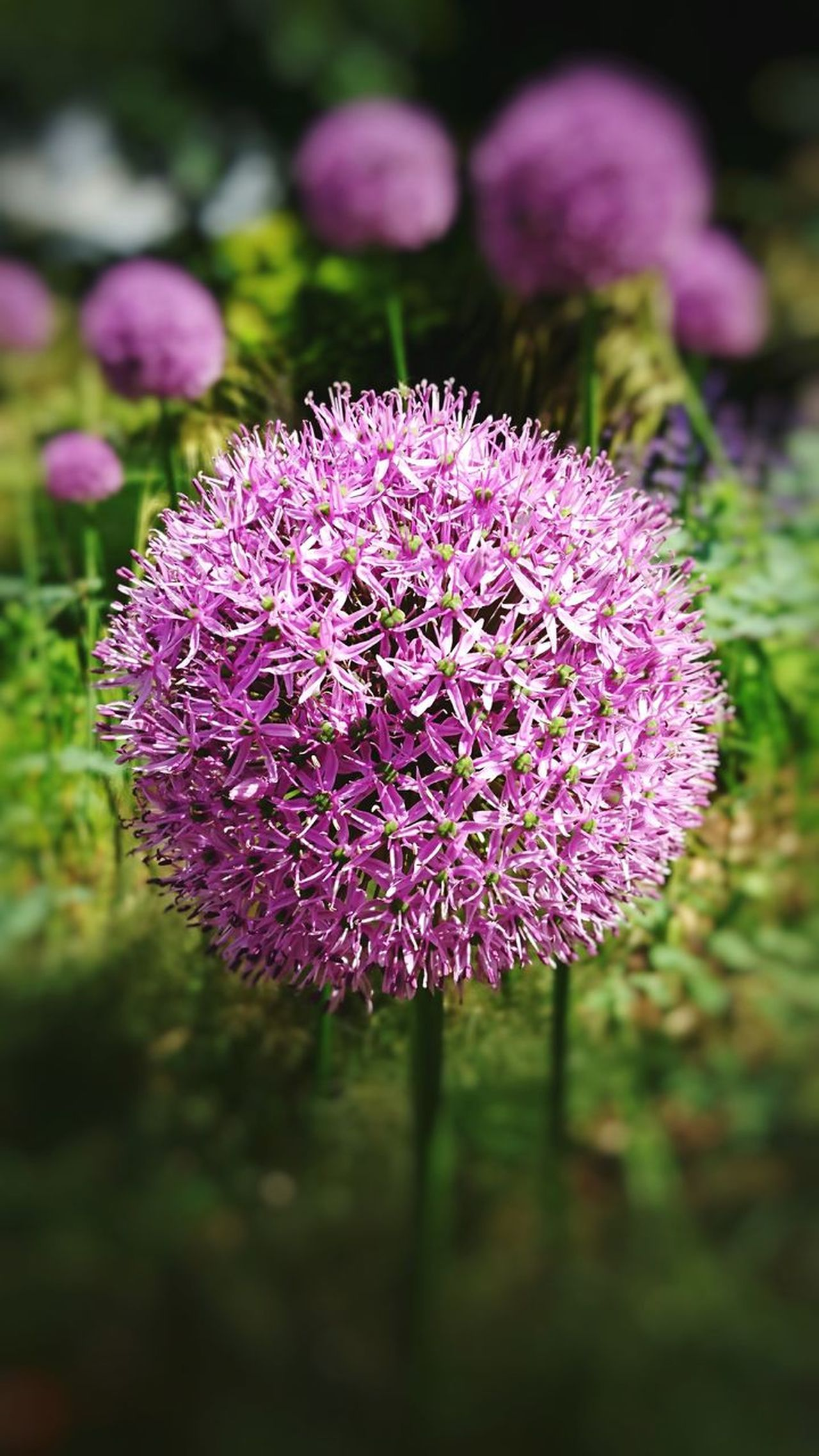 Flower Purple Plant No People Nature Close-up Outdoors Day Beauty In Nature Fragility Freshness Flower Head Growth Grass Thistle Eyem Nature Lovers  Freshness Xperiaxzcam