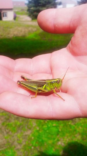 Grasshopper Green Green Green!  Insect Lucky Amazing Nature Amazing God