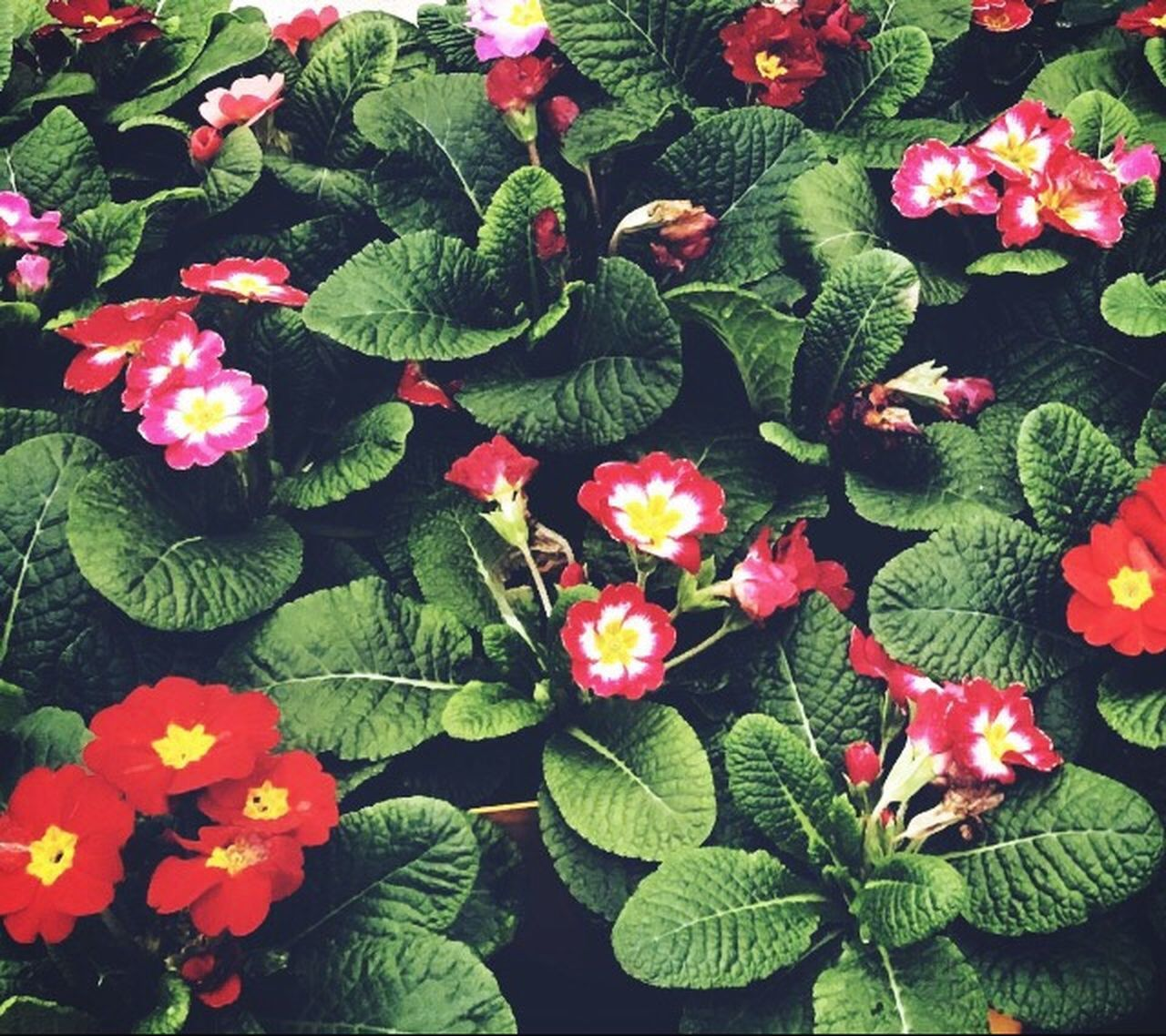 Growth Nature Plant Flower Beauty In Nature Green Color Leaf Fragility Freshness High Angle View No People Petal Outdoors Day Close-up Flower Head Flowers Leaves Plants And Flowers Plants Primrose Green Colors Vibrant Vibrant Color