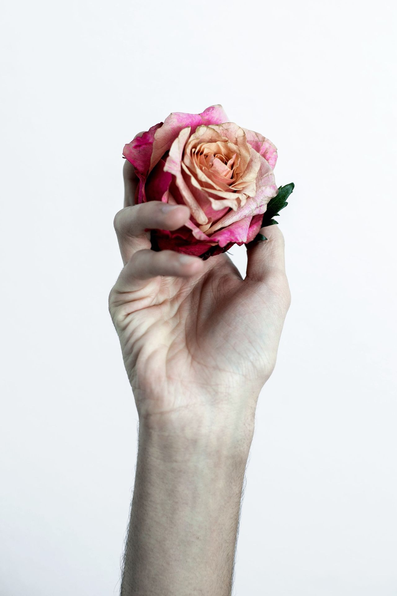 Beautiful stock photos of rosen, Cropped, Cut Out, Flower, Fragility