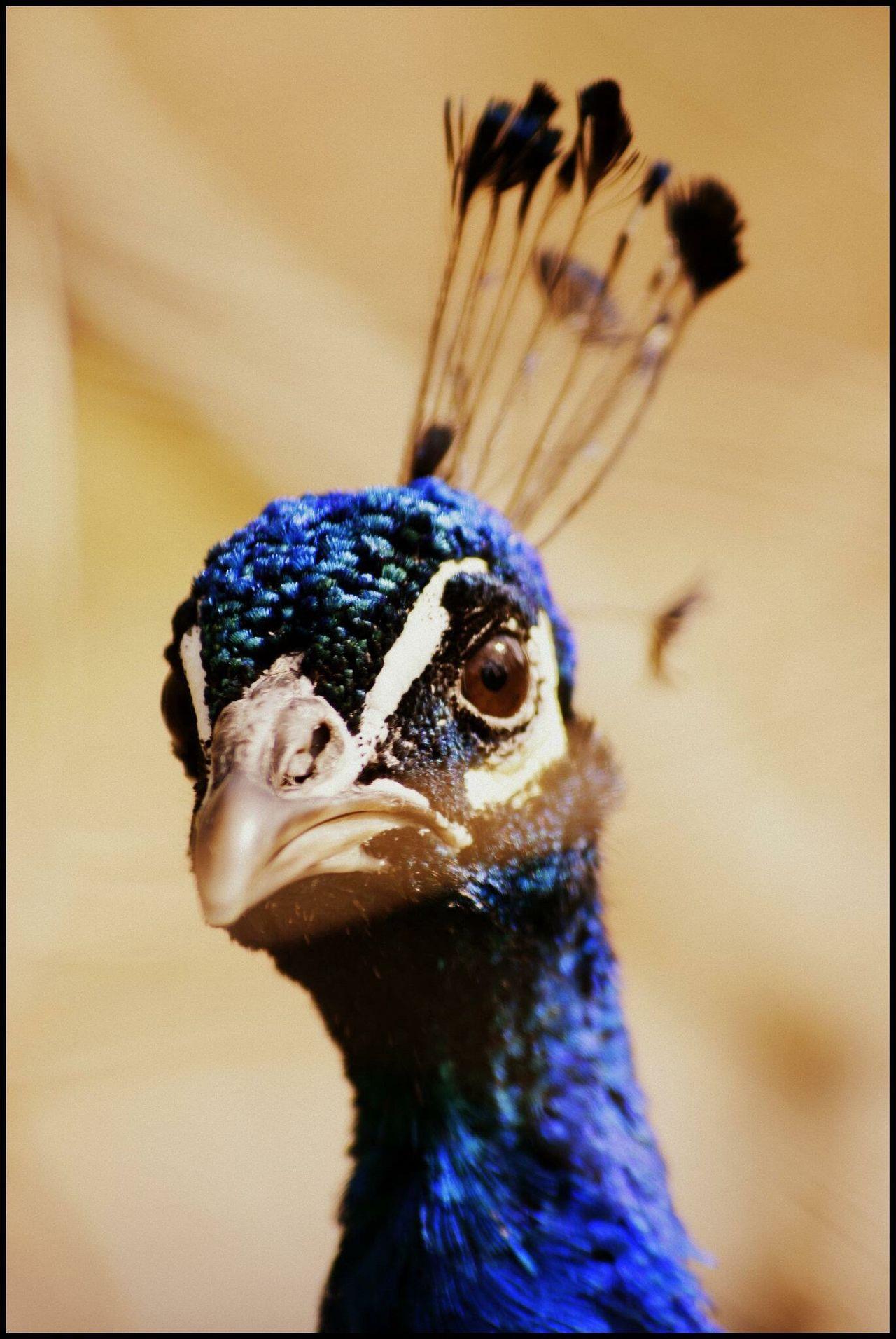 Bird One Animal Beak Close-up Wildlife Animals In The Wild Animal Body Part Animal Eye Zoology Beauty In Nature No People Peakock