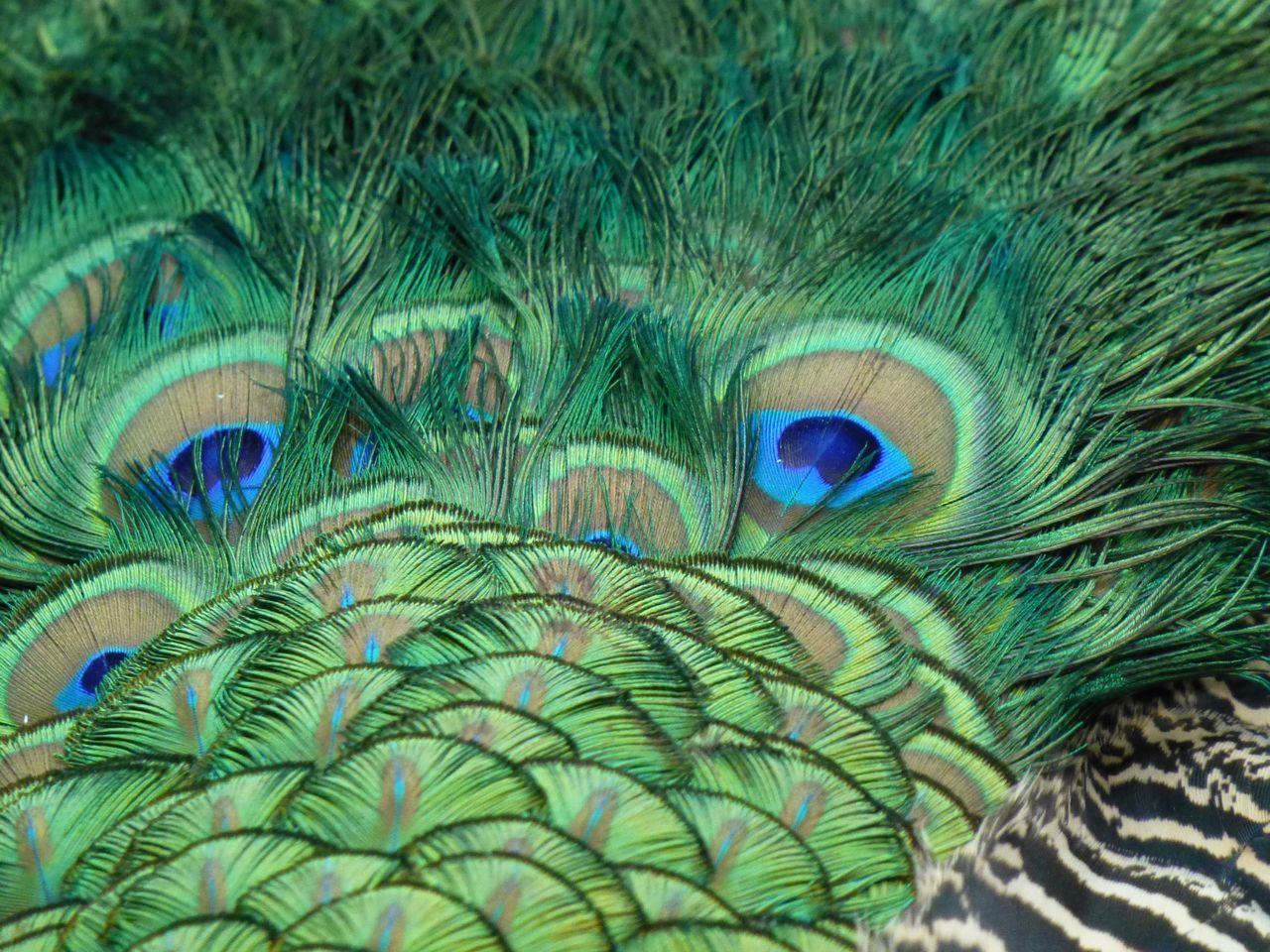 Cropped Image Of Peacock