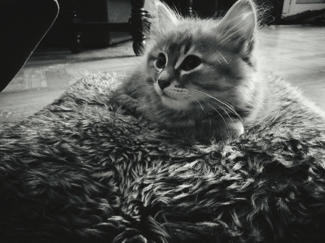 domestic cat, domestic animals, pets, mammal, feline, animal themes, cat, whisker, indoors, one animal, no people, close-up, persian cat, day