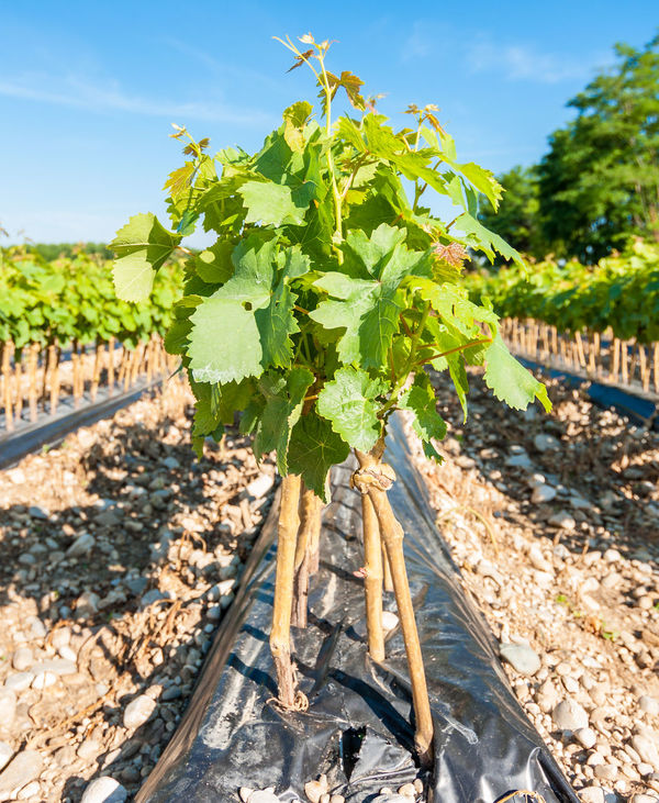 young vineyard Agriculture Country Cultivation Field Grafts Graphic Growth Harvest Rooted Rural Vineyard Young