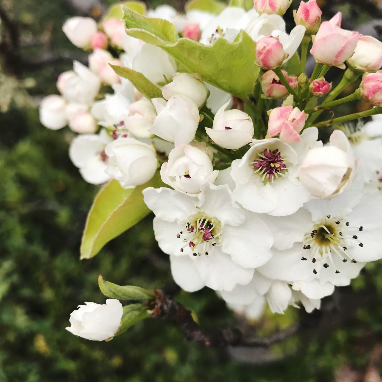 Flower Nature Growth Beauty In Nature Fragility Freshness Petal Flower Head Blossom Springtime White Blossoms Pink Blossoms Ashland, OR Green Tones