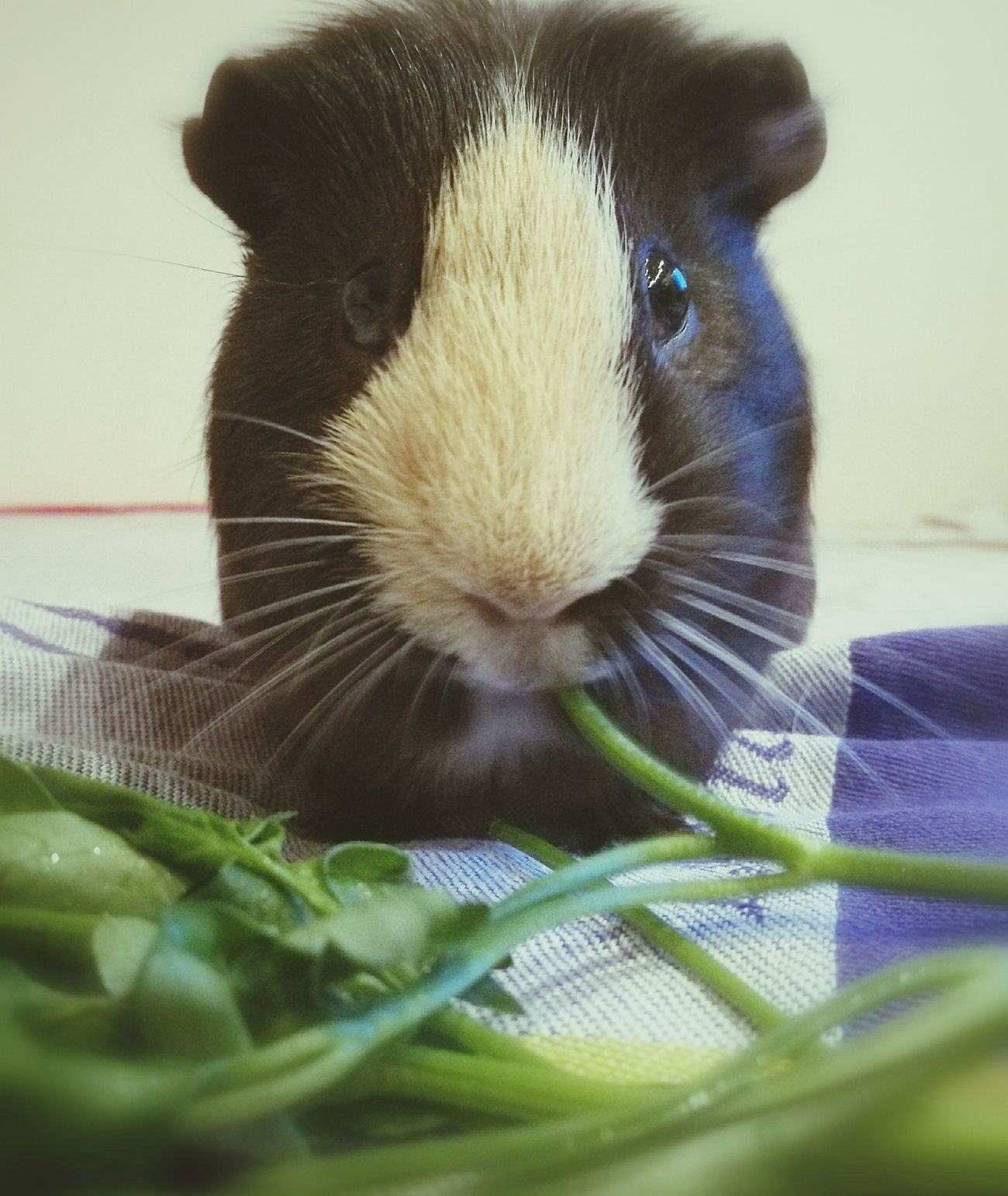 One Animal Animals Zoology Pets Eating!  Guinea Pig Guineapiglove Happy Time
