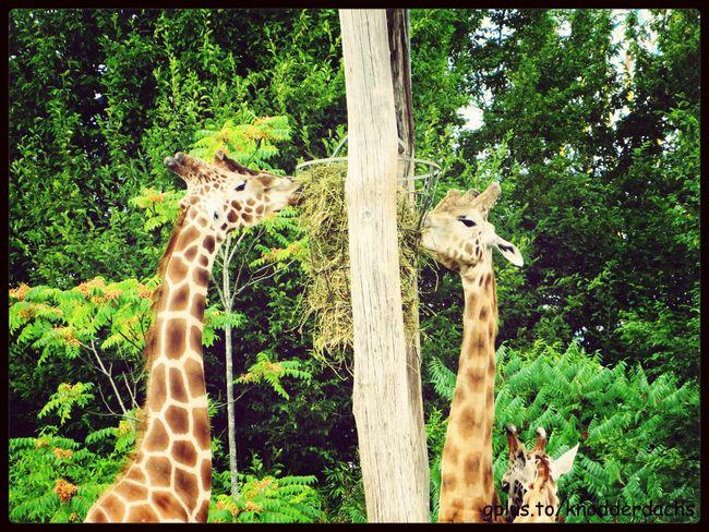 Giraffe Animals Tiere