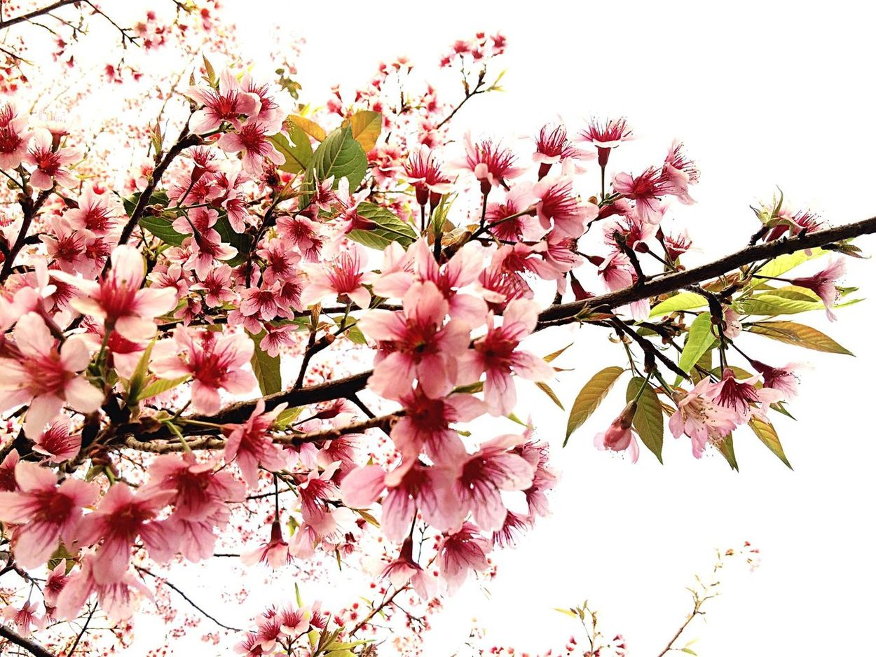 Sakura Thailand Cerasoides Prunus Prunus Cerasoides Wild Himalayan Cherry
