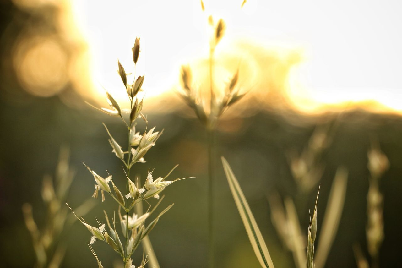 Close-up of grass at sunrise