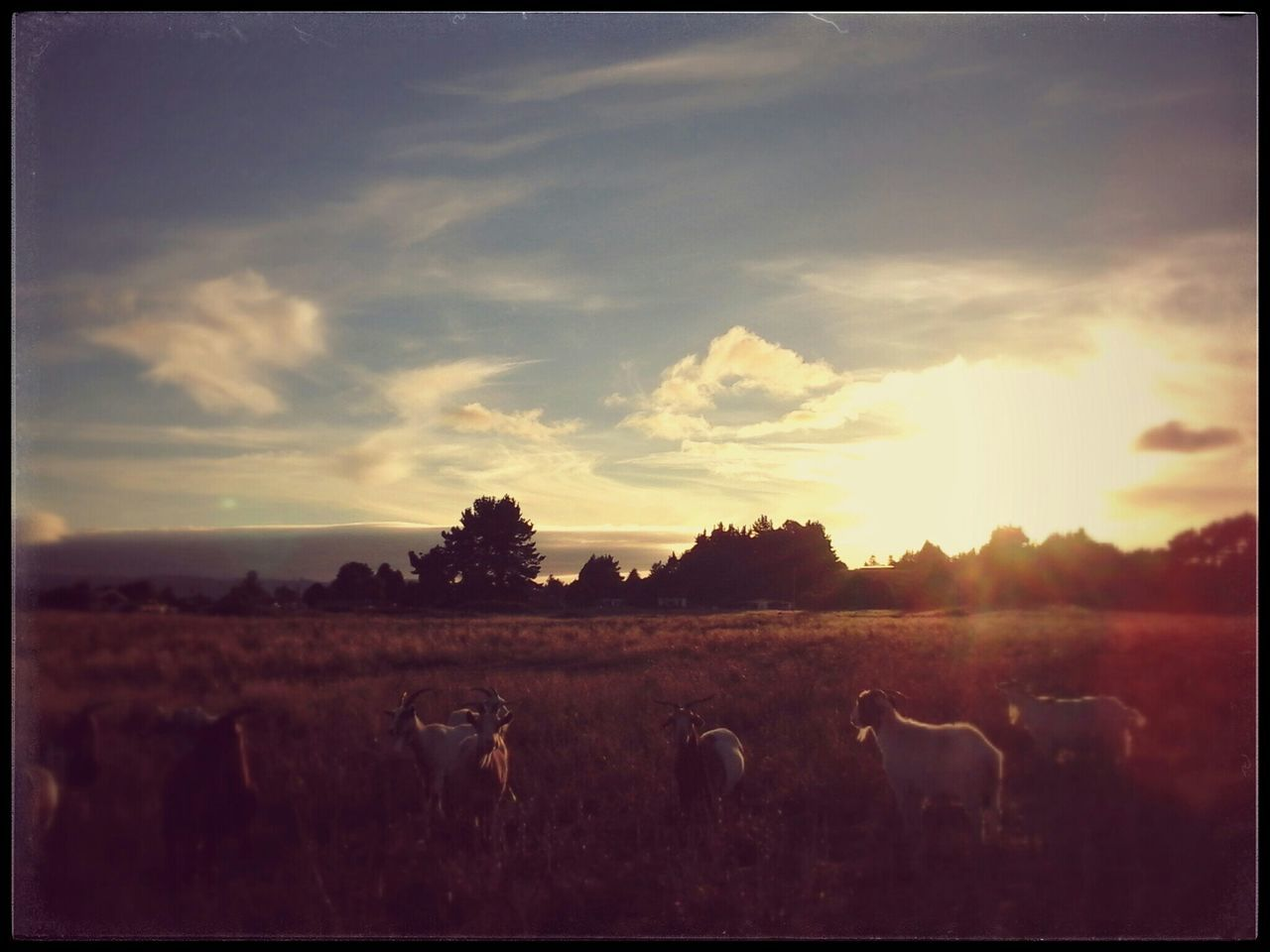 sky, animal themes, landscape, nature, no people, cloud - sky, outdoors, field, sunset, domestic animals, scenics, livestock, mammal, tranquility, tree, animals in the wild, beauty in nature, day