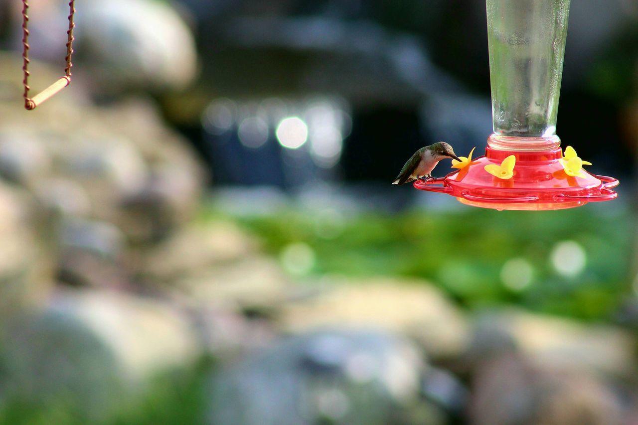 Humminbird drinking nectar Outdoors Bird Hummingbird Feeder Drinking Rubythroatedhummingbird Summer
