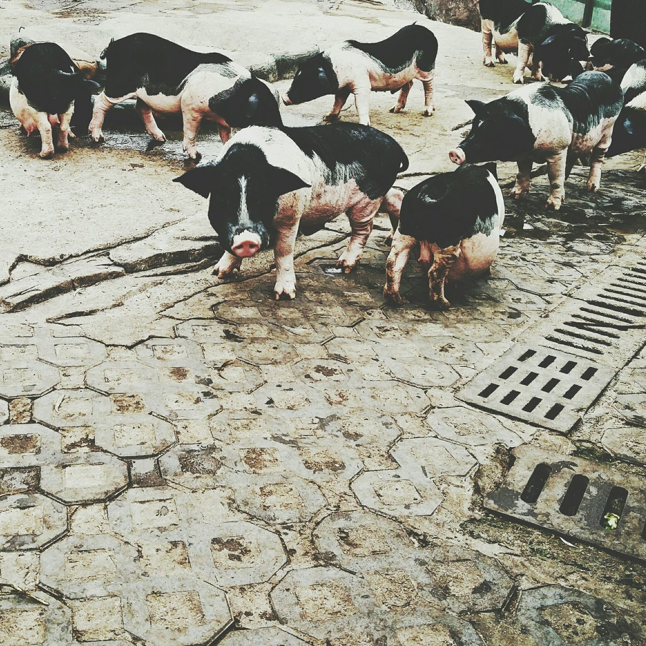 animal themes, domestic animals, high angle view, large group of animals, day, mammal, outdoors, nature, no people, bird