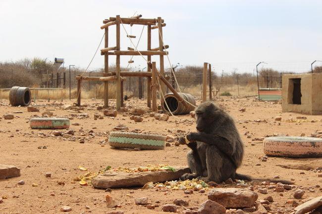 African Safari Baboon Baboons Monkey Monkeys Playground Fun Playgrounds Zoology