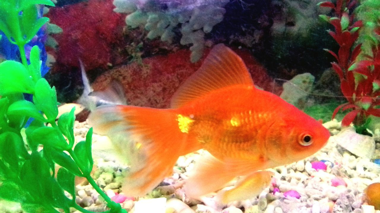 animal themes, swimming, fish, one animal, no people, nature, sea life, animals in the wild, close-up, indoors, goldfish, underwater, water, day
