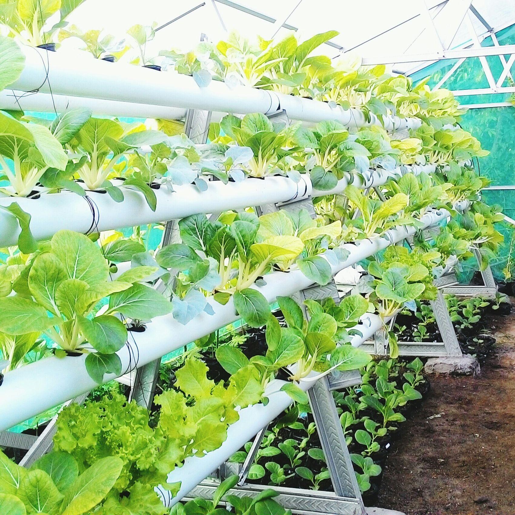 Urbanfarming Urbangardening Hidroponik Vagatable