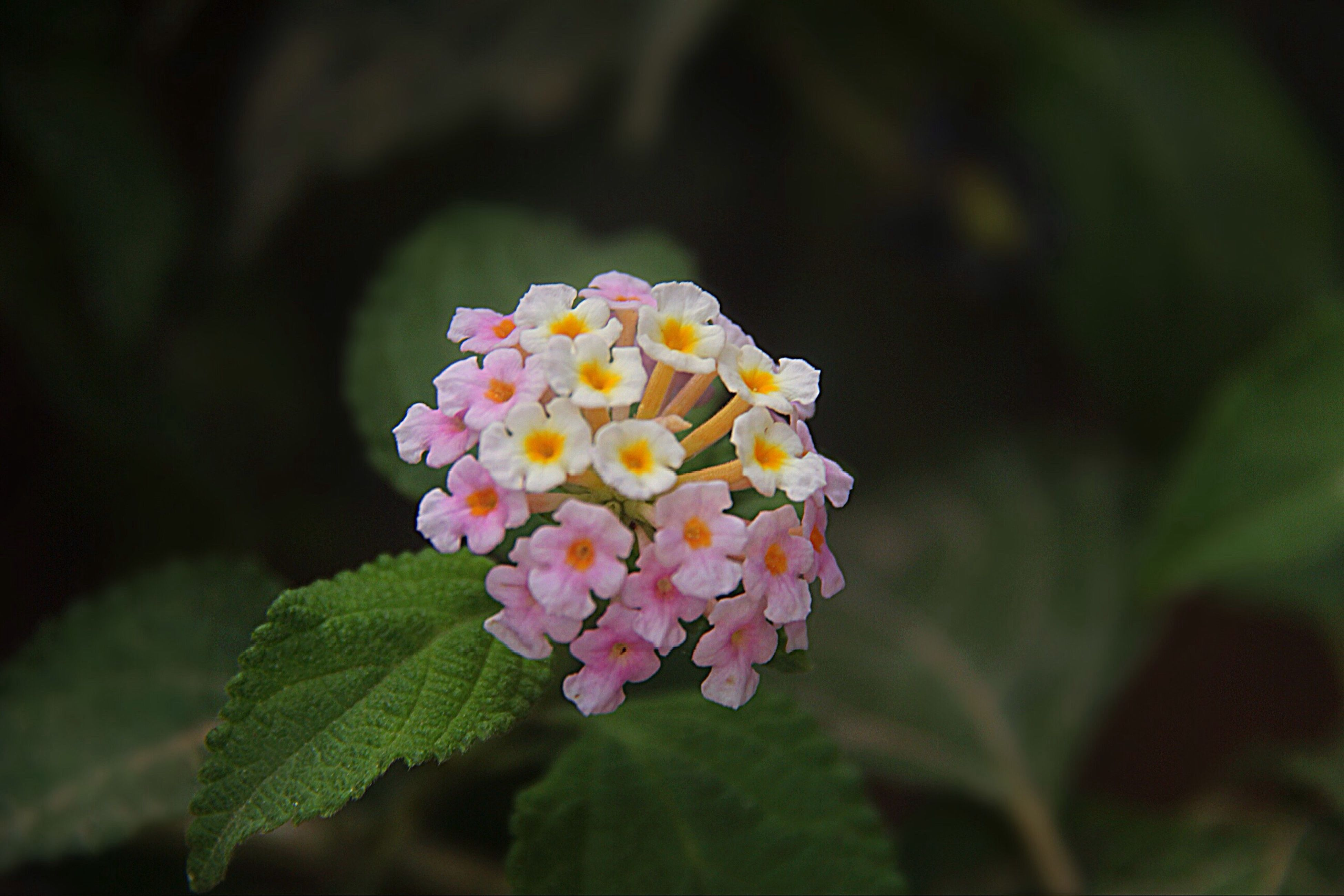 flower, fragility, beauty in nature, freshness, nature, plant, petal, lantana, focus on foreground, flower head, close-up, leaf, blooming, lantana camara, growth, zinnia, pollen, day, no people, outdoors