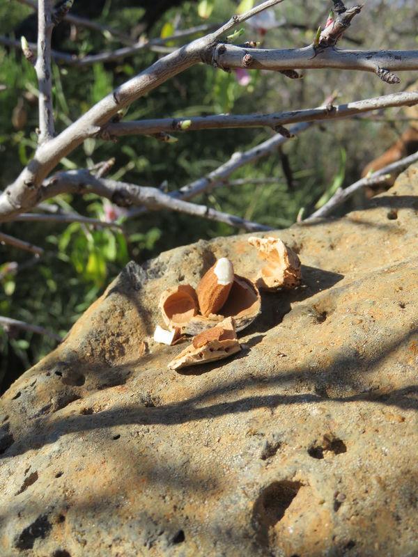 Almendras Almond Tree Almonds Mandelblüte Mandeln Nature Tree