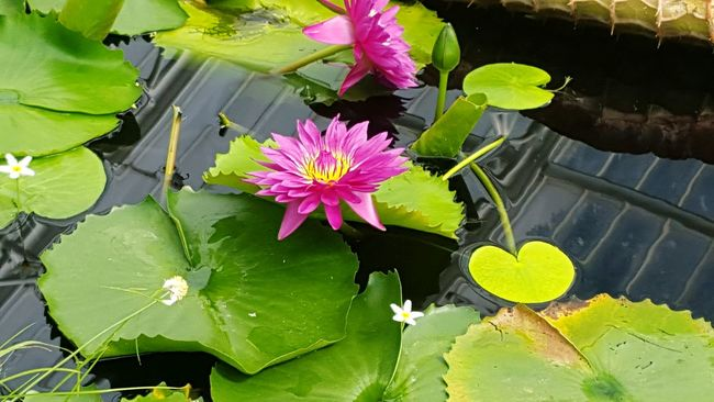 Greenhouse Plants Pink Flowers Pink Simple Water Dropplets Lots Of Leaves Blue Lily Yellow Pond Greenhouse Simple Flowers