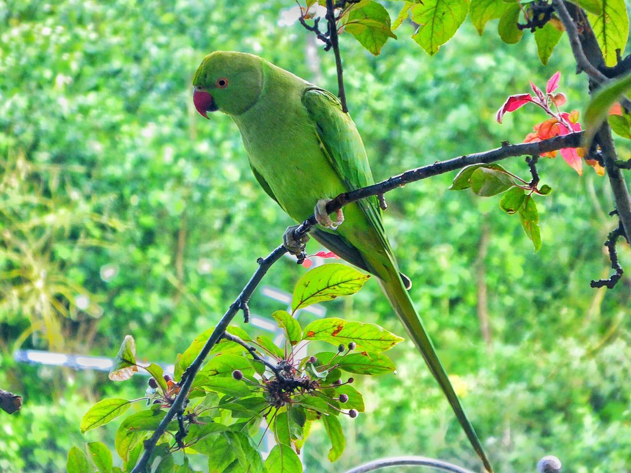 Rose Ring Parakeet Rose-ringed Parakeets Rose-ringed Parakeet Parakeet Parakeets Bird Birds Bird Photography Birds_collection Birdwatching Bird Watching Wildlife Wildlife Photography Wildlife & Nature Nature Nature_collection Nature Photography Naturelovers