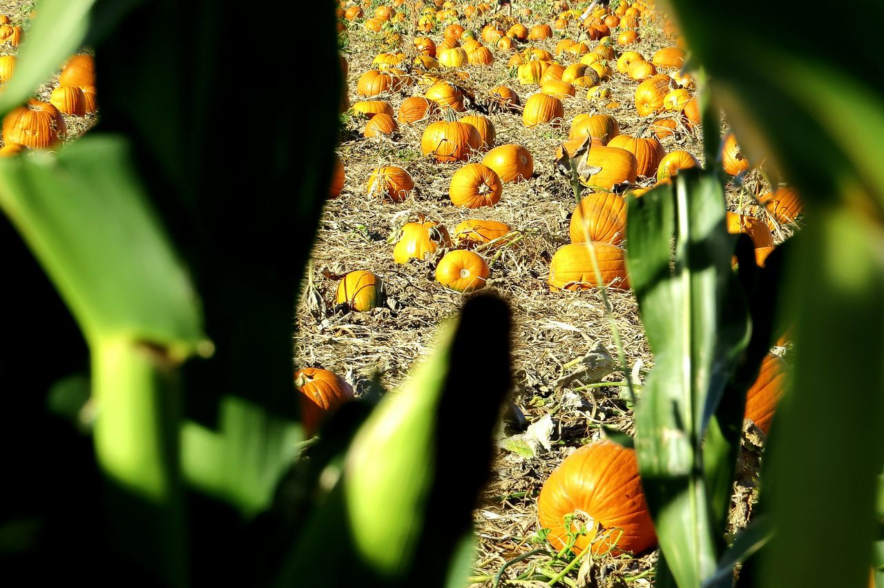Cornstalks, Pumpkins Fall Pumpkins