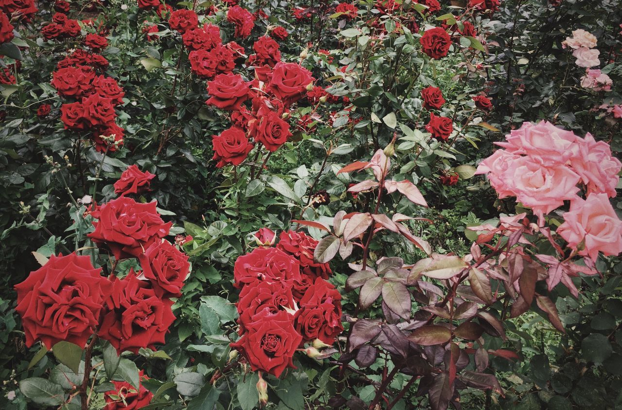 Backgrounds Beauty In Nature Close-up Day Flower Flower Head Fragility Freshness Full Frame Growth Leaf Nature No People Odessa,Ukraine Outdoors Petal Plant Red Roses Roses Flowers  Roses🌹 Street Photography Streetphotography Vibrant Color