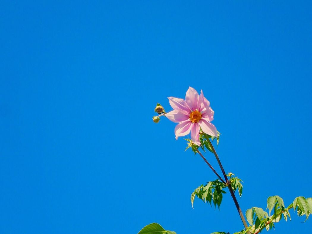 Flower Blue Beauty In Nature Nature Clear Sky Blossom I Love Earth Tree Dahlia Plant Pink Green Autumn