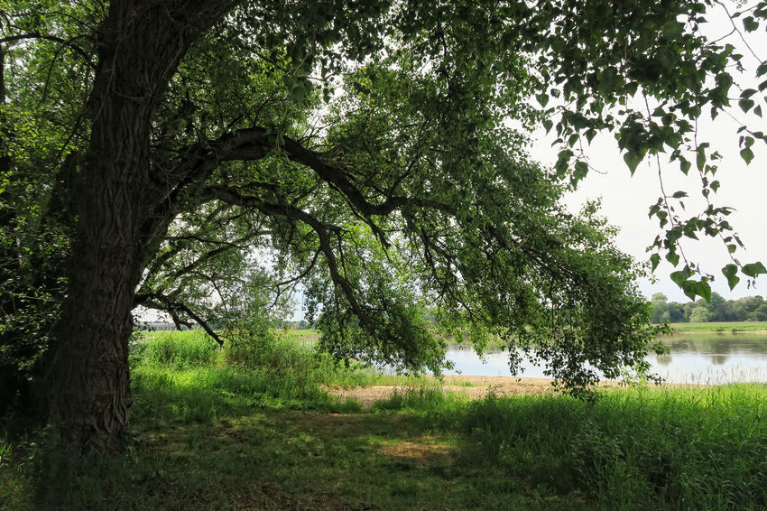 Big willow tree on shore of Elbe river and its typical meadows in summer time. located next to Tangermuende, Saxony-Anhalt (Germany) Elbe Elbe River Elberadweg Elberiver Grass Growth Landscape Nature No People Outdoors River Saxony Anhalt Saxonyanhalt Tangermünde Tree Tree Trunk Willow Willow Tree