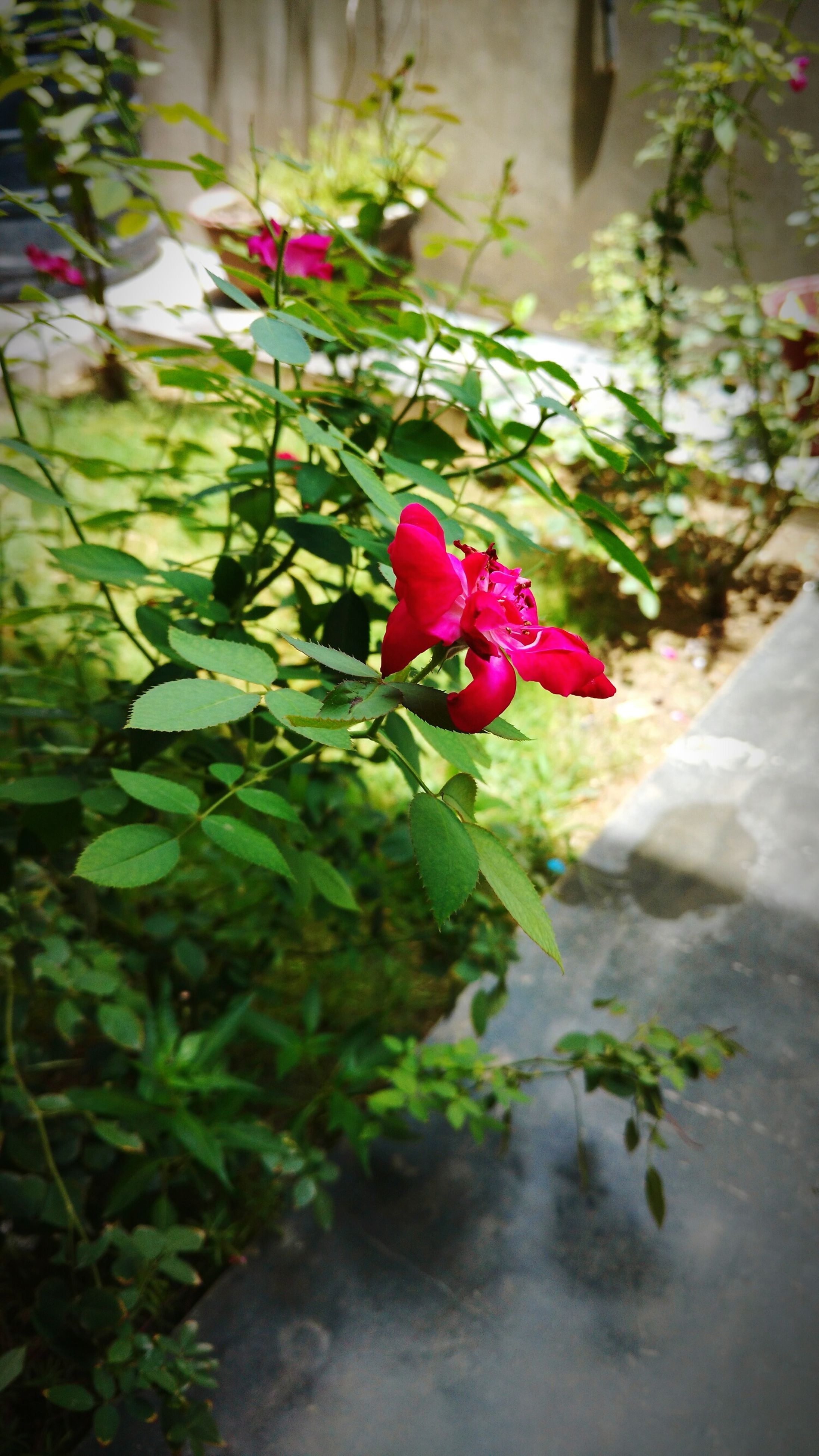flower, freshness, petal, fragility, growth, red, plant, leaf, pink color, flower head, beauty in nature, nature, blooming, close-up, rose - flower, focus on foreground, stem, in bloom, bud, blossom, day, no people, outdoors, selective focus, green color, botany, growing