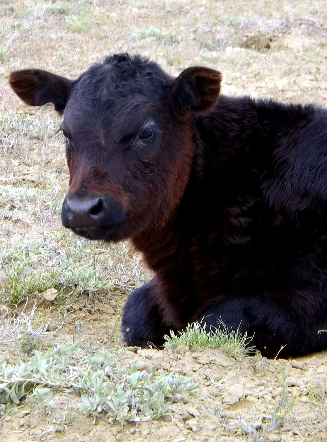 Angus Angus Beef Calf Calf Laying Down Cattle Calf Cattle Country Cattle Farm Cattle Ranch Cattle Ranching Black Calf Calf Face Baby Animals Baby Animal Ranch Life Farm Life Out On The Farm Out On The Ranch On The Range Angus Cattle Wyoming USA Young Cow Cattle Breeding Calf Love Calf Lying Down. Cattle Land