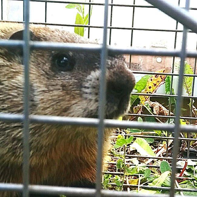 Groudhogs Groundhog Animals In The Wild Camadianwildlife Taking Photos Varmints Wildanimals Varmint Trapandrelease Showcase July Nature Nature Photography