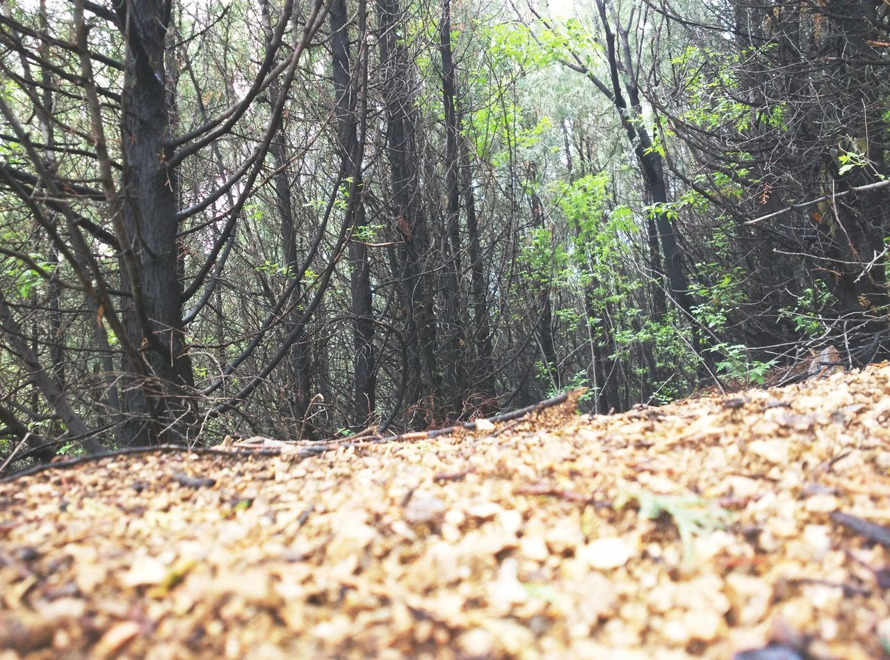 forest, nature, tree trunk, tree, tranquility, tranquil scene, beauty in nature, day, scenics, woodland, landscape, leaf, no people, outdoors, growth, autumn