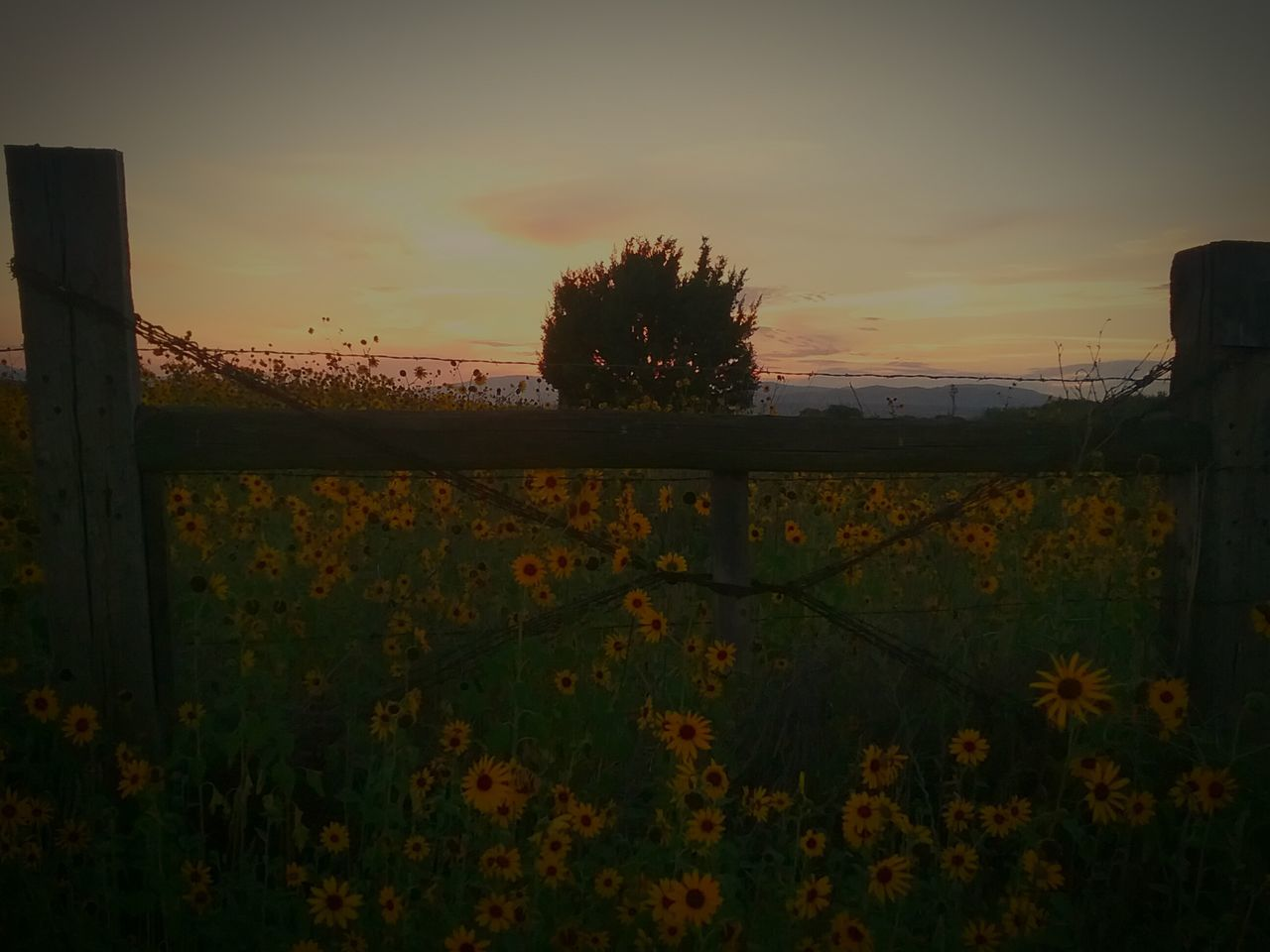 sunset, nature, flower, growth, beauty in nature, plant, tranquility, tranquil scene, sky, no people, outdoors, field, scenics, tree, landscape, grass, day